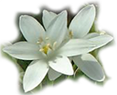 star of bethlehem flowers at the foot of the page